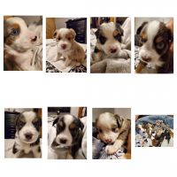 Australian Shepherd Puppies for sale in Liberty Lake, WA 99019, USA. price: NA