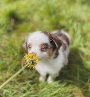 Australian Shepherd Puppies for sale in Ashburn, VA 20148, USA. price: NA