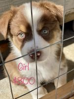 Australian Shepherd Puppies for sale in 692 Rodeo Ave, Rodeo, CA 94572, USA. price: NA