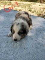 Australian Shepherd Puppies for sale in Rocky Ford, CO 81067, USA. price: NA