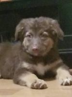 Australian Shepherd Puppies for sale in Springfield, MO 65803, USA. price: NA