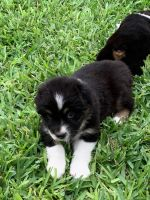 Australian Shepherd Puppies for sale in San Antonio, TX 78209, USA. price: NA