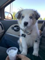 Australian Shepherd Puppies for sale in Visalia, CA, USA. price: NA