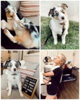 Australian Shepherd Puppies for sale in California City, CA, USA. price: NA