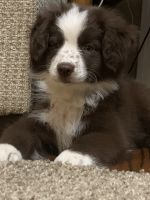 Australian Shepherd Puppies for sale in Leesville, LA 71446, USA. price: NA