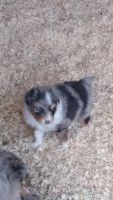 Australian Shepherd Puppies for sale in Winlock, WA 98596, USA. price: NA