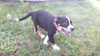 Australian Shepherd Puppies for sale in 4184 Carmel Rd, Hillsboro, OH 45133, USA. price: NA