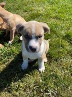Australian Shepherd Puppies for sale in Acampo, CA 95220, USA. price: NA