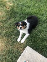 Australian Shepherd Puppies for sale in Shorewood, IL, USA. price: NA