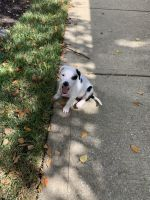 Australian Shepherd Puppies for sale in Odenton, MD, USA. price: NA