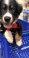 Australian Shepherd Puppies for sale in Chicago, IL, USA. price: NA