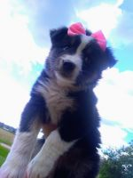 Australian Shepherd Puppies for sale in Eau Claire, WI, USA. price: NA