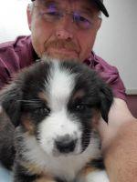 Australian Shepherd Puppies for sale in Amarillo, TX, USA. price: NA