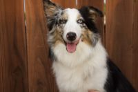 Australian Shepherd Puppies for sale in Pharr, TX 78577, USA. price: NA