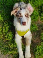 Australian Shepherd Puppies for sale in Virginia Beach, VA, USA. price: NA