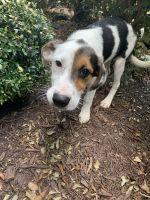 Australian Shepherd Puppies for sale in Ringgold, GA 30736, USA. price: NA