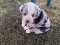 Australian Shepherd Puppies for sale in Massillon, OH, USA. price: NA