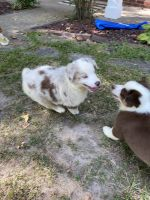 Australian Shepherd Puppies for sale in Joplin, MO, USA. price: NA