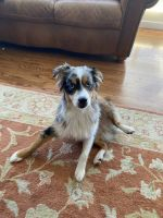 Australian Shepherd Puppies for sale in Edmonds, WA, USA. price: NA