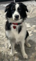 Australian Shepherd Puppies for sale in Palatine, IL, USA. price: NA