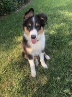 Australian Shepherd Puppies for sale in Stockton, CA, USA. price: NA
