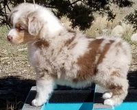 Australian Shepherd Puppies for sale in Los Angeles, CA, USA. price: NA
