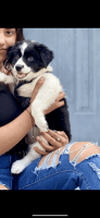 Australian Shepherd Puppies for sale in Akron, OH, USA. price: NA