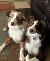 Australian Shepherd Puppies for sale in Temple, TX, USA. price: NA