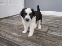 Australian Shepherd Puppies for sale in Vancouver, WA, USA. price: NA