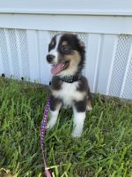 Australian Shepherd Puppies for sale in Fort Lauderdale, FL, USA. price: NA