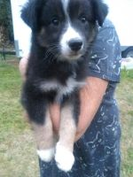 Australian Shepherd Puppies for sale in Scappoose, OR 97056, USA. price: NA