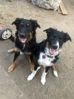 Australian Shepherd Puppies for sale in Boise, ID, USA. price: NA