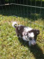 Australian Shepherd Puppies for sale in Elizabethton, TN, USA. price: NA