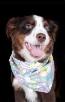 Australian Shepherd Puppies for sale in Kenner, LA, USA. price: NA