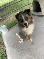 Australian Shepherd Puppies for sale in New Iberia, LA, USA. price: NA