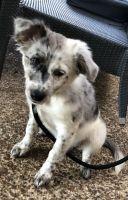 Australian Shepherd Puppies for sale in Nashville, TN 37209, USA. price: NA