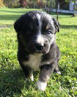 Australian Shepherd Puppies for sale in Randolph, NY 14772, USA. price: NA