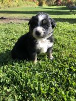 Australian Shepherd Puppies for sale in Randolph, NY 14772, USA. price: NA