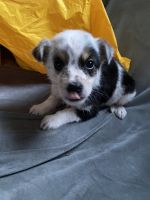 Australian Shepherd Puppies for sale in Bowling Green, KY, USA. price: NA