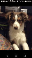 Australian Shepherd Puppies for sale in Frackville, PA 17931, USA. price: NA