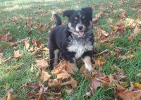 Australian Shepherd Puppies for sale in Mcveytown, PA 17051, USA. price: NA