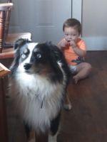 Australian Shepherd Puppies for sale in Louisiana, MO 63353, USA. price: NA