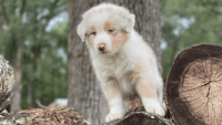 Australian Shepherd Puppies for sale in Canada, KY 41519, USA. price: NA