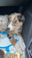 Australian Shepherd Puppies for sale in Whitehall, PA 18052, USA. price: NA