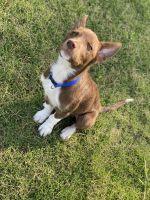 Australian Shepherd Puppies for sale in Bentonville, AR 72712, USA. price: NA