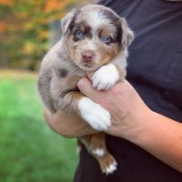 Australian Shepherd Puppies for sale in North East, MD 21901, USA. price: NA