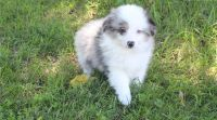 Australian Shepherd Puppies for sale in Las Vegas, NV, USA. price: NA