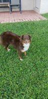 Australian Shepherd Puppies for sale in 1123 Via Jardin, Riviera Beach, FL 33418, USA. price: NA