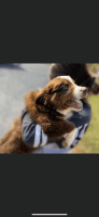 Australian Shepherd Puppies for sale in West Liberty, KY 41472, USA. price: NA