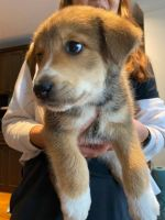 Australian Shepherd Puppies for sale in Lowell, MA, USA. price: NA